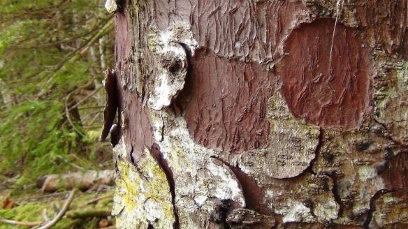 Haida Gwaii tree 272